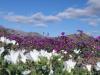 Fiorisce il deserto di Atacama