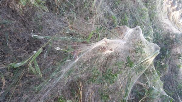 Distesa di ragnatele in Emilia