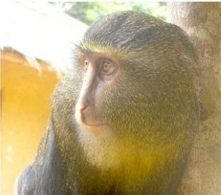 congo: scoperto nuovo primate