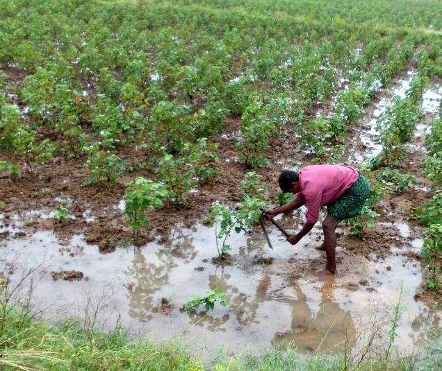 Alluvioni e inondazioni in India, colpite le piantagioni di cotone. Foto GN Rao