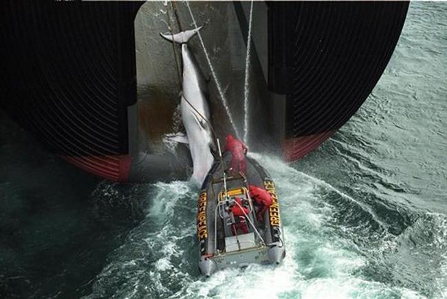 Greenpeace contro le baleniere in Giappone