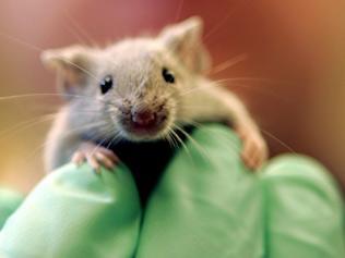 Clonazione: in Giappone topo riprodotto per 26 volte