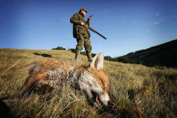 Caccia delle volpi a Teramo : arriva anche l'autorizzazione della Provincia. Volpi in pericolo