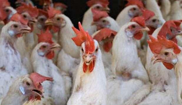 Torna l'influenza aviaria / ecco le ultime notizie