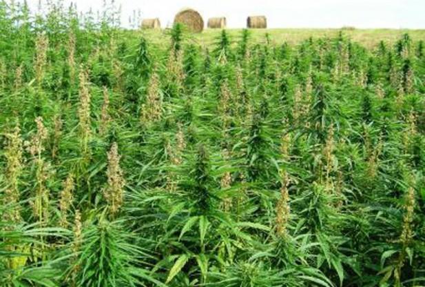 Cannabis: legalizzata a scopo terapeutico in Repubblica Ceca
