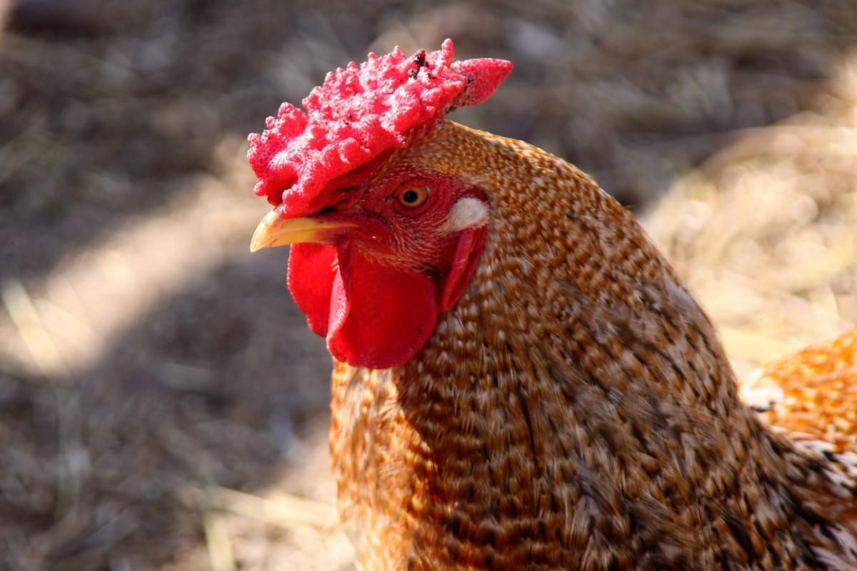 """PERICOLO AVIARIA : Due morti in Cina a causa """"dell'influenza dei polli"""""""