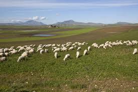 Verbania : Fulmine uccide un intero gregge di pecore
