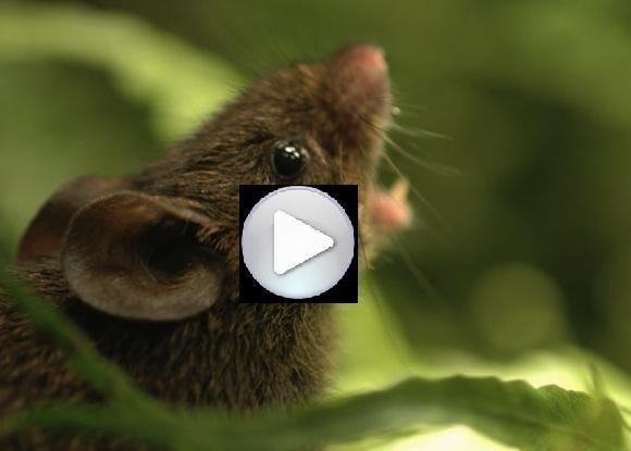 Topi cantanti nella foresta pluviale