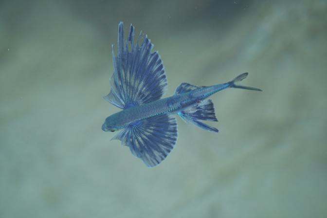 Pesci volanti: foto, ecco come sono fatti