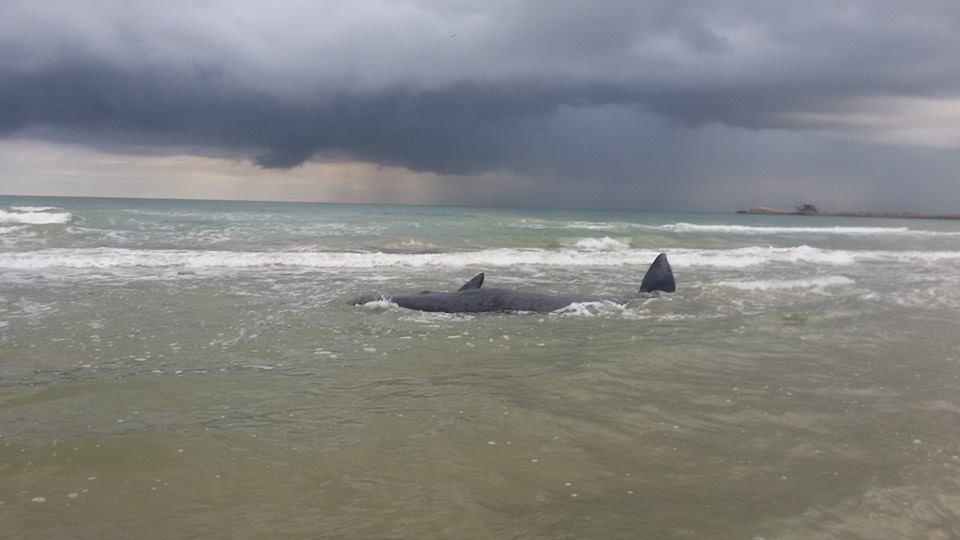 Balene arenate a Vasto