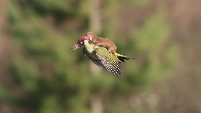Stupefacente foto di un Picchio che vola con una donnola sulla schiena