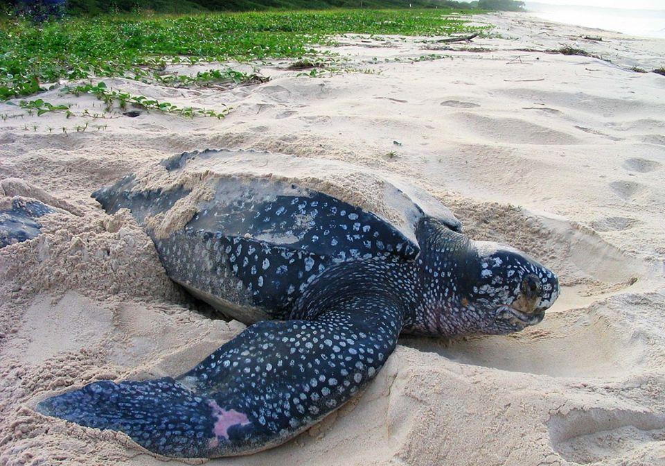 Tartaruga liuto sono le pi grandi del mondo e pesano for Tartarughe grandi