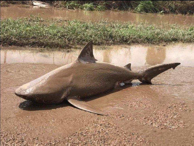 Uno squalo spinto sulla strada dal ciclone Debbie