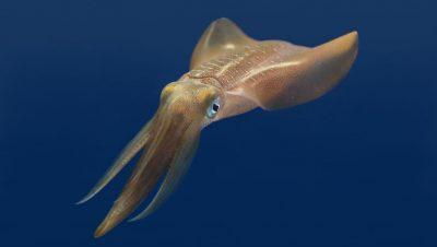 Pesca al calamaro: periodo, alimentazione ed esche